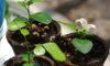種からシルクジャスミンを育てよう(9月15日更新)